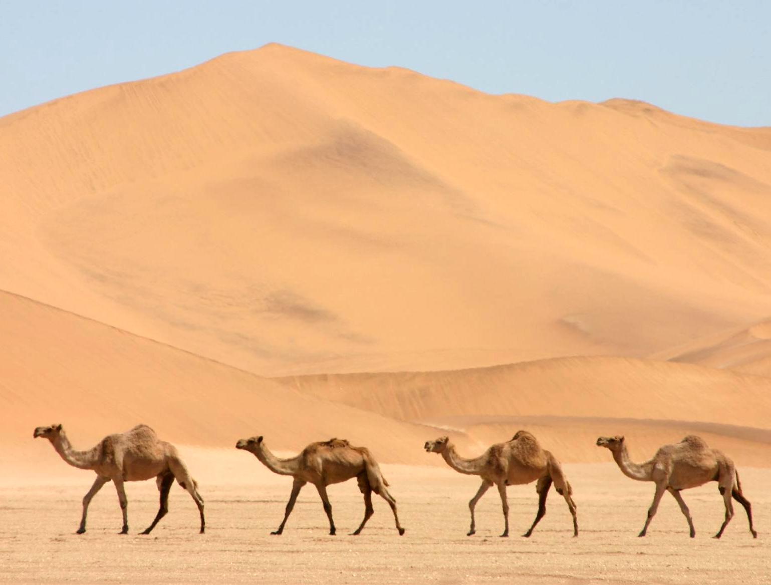 Dromedarios_en_el_desierto.jpg